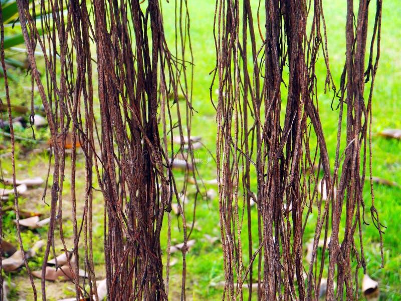 De wortels van de ficusboom met takken en bladeren in de tuin royalty-vrije stock afbeelding