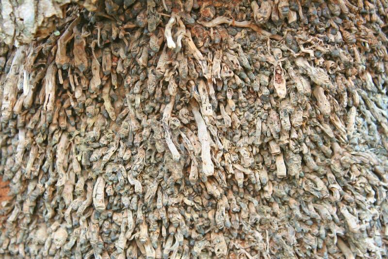 De wortels van oude kokospalm royalty-vrije stock afbeeldingen