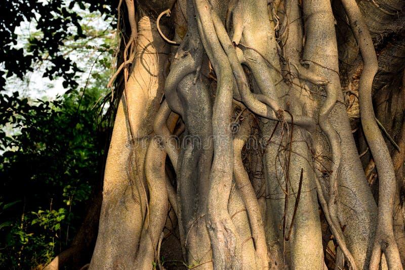 De wortelsclose-up van de Banyanboom bij ochtendzonlicht stock afbeeldingen