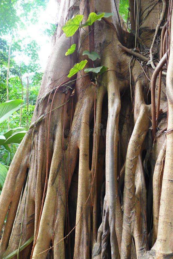 De wortelsdetails van de ficusboom, tropische wildernis royalty-vrije stock fotografie