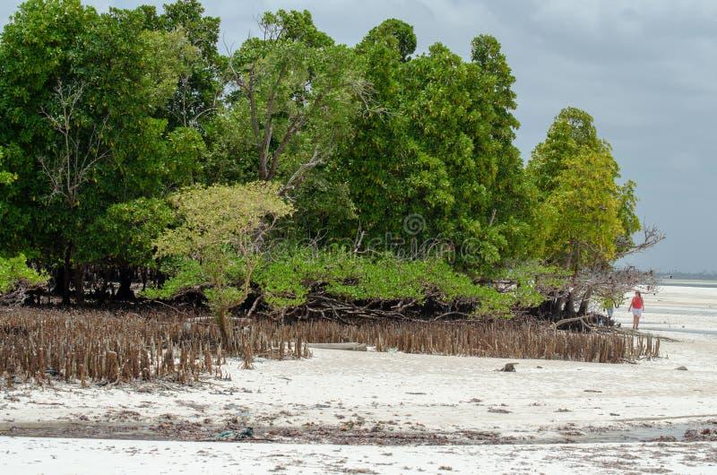 De wortelstokken Zanzibar, Tanzania, Februari 2019 van mangroven stock afbeelding