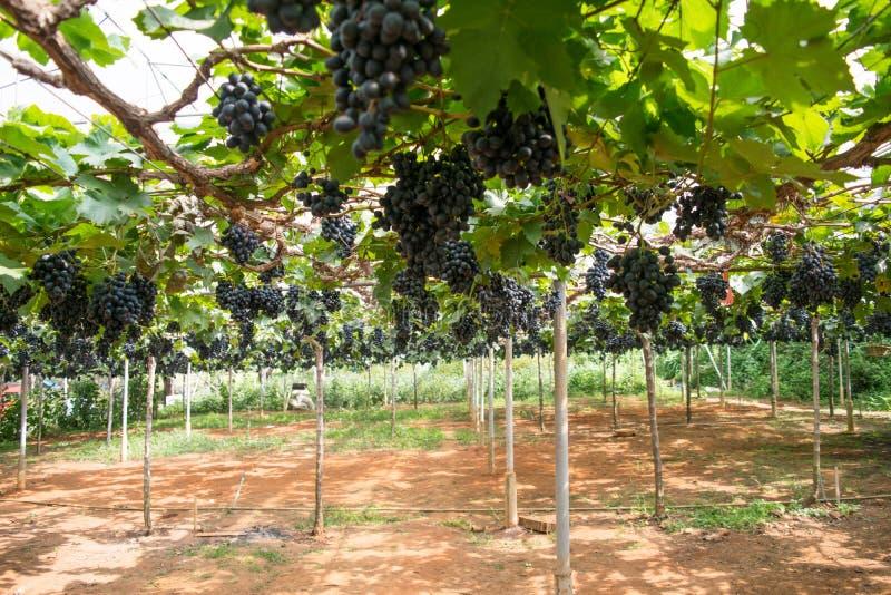 De zaadloze druiven van de nadrukbos op de wijnstok in Wijngaard stock afbeelding