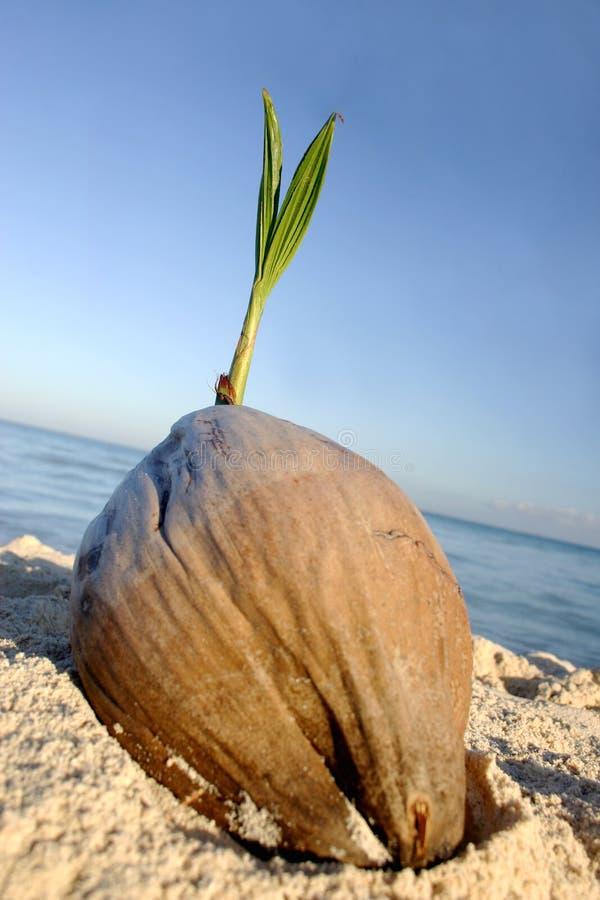 De Zaailing van de kokosnoot royalty-vrije stock fotografie