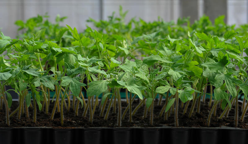 De zaailing van de tomaat in plastic dienblad royalty-vrije stock foto's