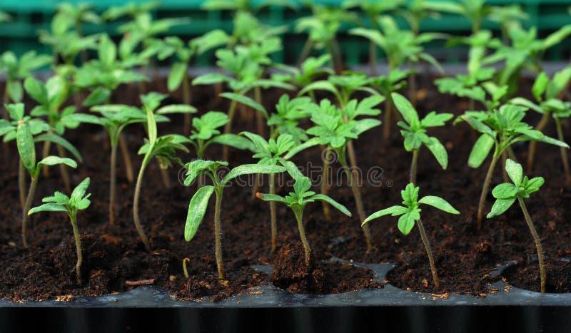 De zaailing van de tomaat in plastic dienblad stock foto