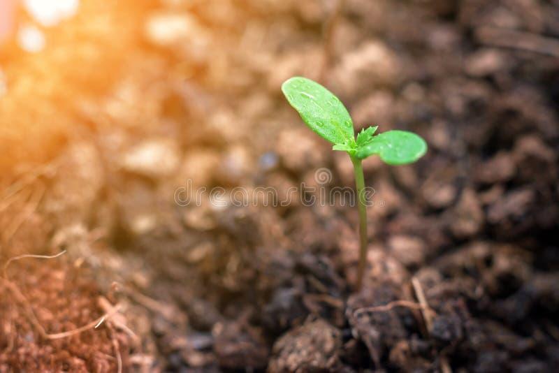 De zaailing van de goudsbloemboom groeit in bloempot stock foto