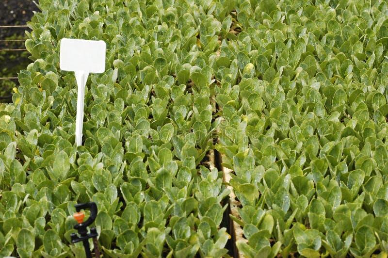 De zaailingen van broccoli royalty-vrije stock afbeeldingen