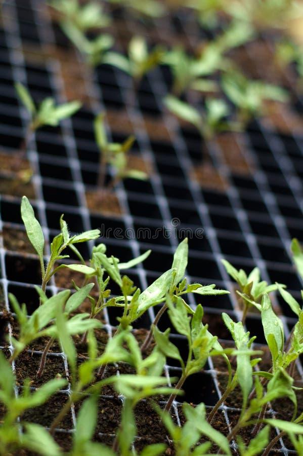 De zaailingen van de tomaat stock afbeeldingen