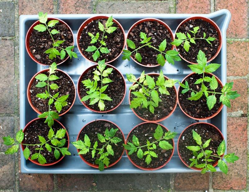 De Zaailingen van de tomaat royalty-vrije stock fotografie