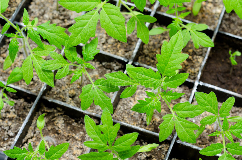 De zaailingen van de tomaat royalty-vrije stock afbeeldingen