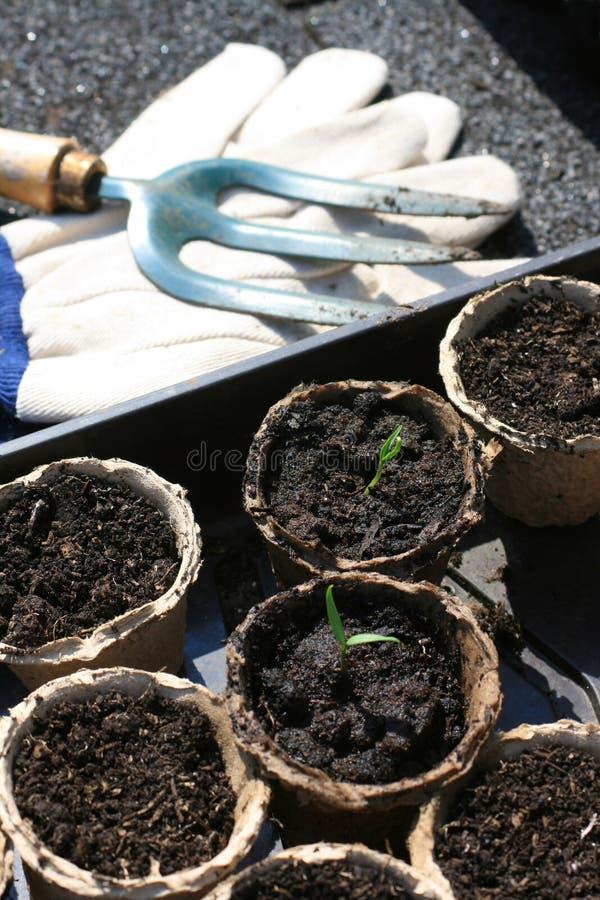 De zaailingen van de tomaat stock afbeelding