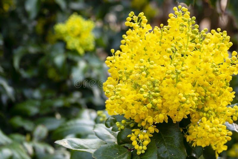 De zachte nadruk heldere gele kleur van de lente bloeit Mahonia Aquifolium tegen donkergroen van de installatie stock foto's