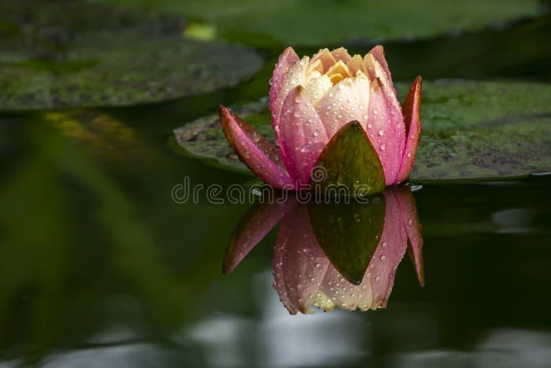 De zachte nadruk van een mooie roze waterlily Perenwijn` s Oranje Zonsondergang of de lotusbloem bloeit met regendruppels in een  royalty-vrije stock fotografie