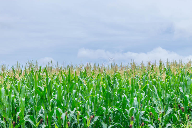 De zachte nadruk van graan, maïs, Maïs, Zea mays, Poaceae, Gramineae, installatiegebied met de blauwe hemel en exemplaar de ruimt stock afbeeldingen