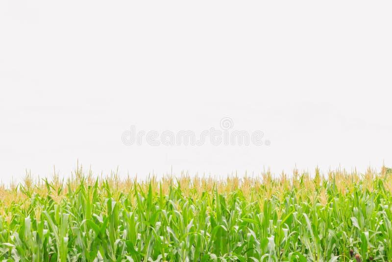 De zachte nadruk van graan, maïs, Maïs, Zea mays, Poaceae, Gramineae, installatiegebied met de witte hemel en exemplaar de ruimte stock foto