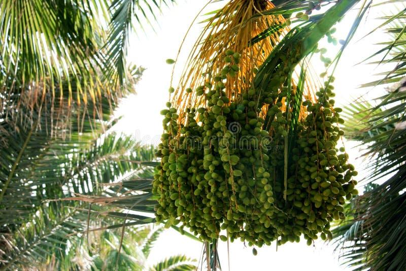 De zaden van de palm royalty-vrije stock afbeelding