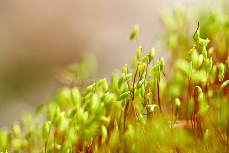 De zaden van de tarwe het ontspruiten stock foto's