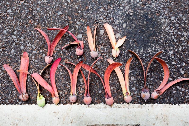 De zaden van Dipterocarpusalatus royalty-vrije stock afbeeldingen