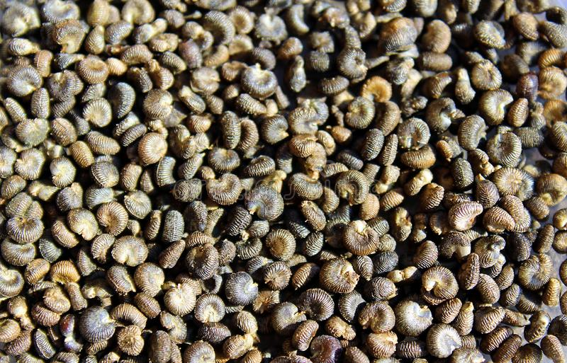 De zaden van grijze kleur zijn gelijkaardig aan shell stock fotografie