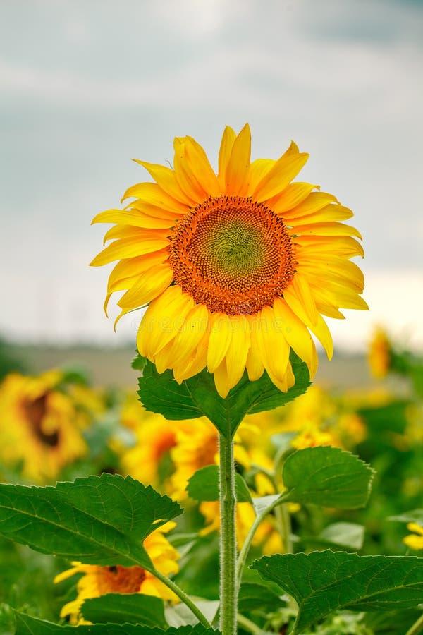 De zaden van de zonnebloem Zonnebloemgebied, het groeien beautifu van de zonnebloemolie royalty-vrije stock foto