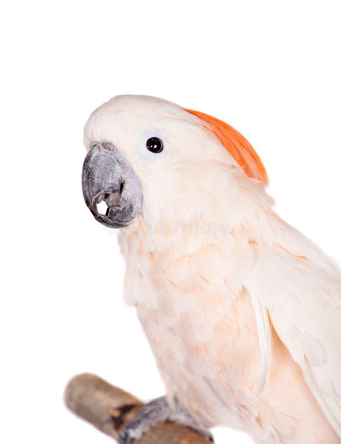 De zalm-kuifkaketoe op wit stock fotografie