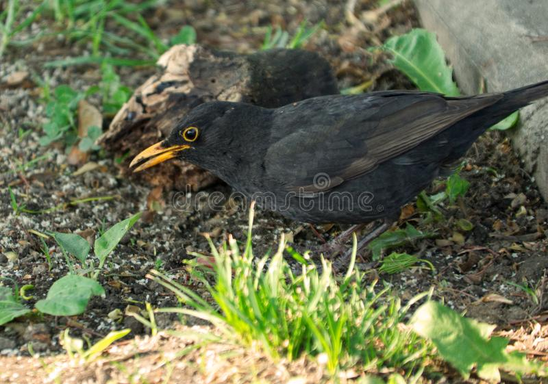 De zangvogel van merelmerula stock fotografie