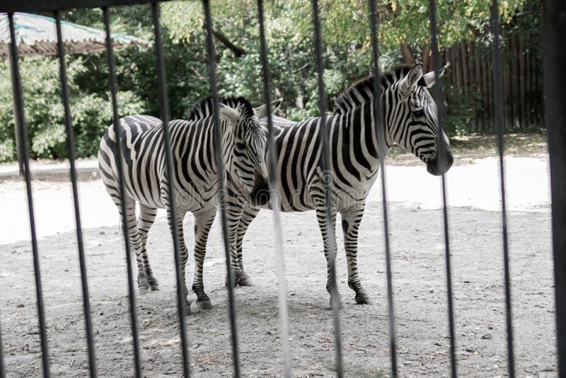 De zebra is achter de omheining en toont het uitstekende maskeren, een wild dier in gevangenschap, wrede behandeling van dieren,  royalty-vrije stock afbeelding