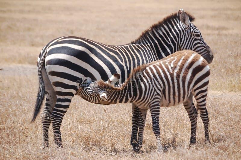 De Zebra en de Moeder van de verzorging stock foto