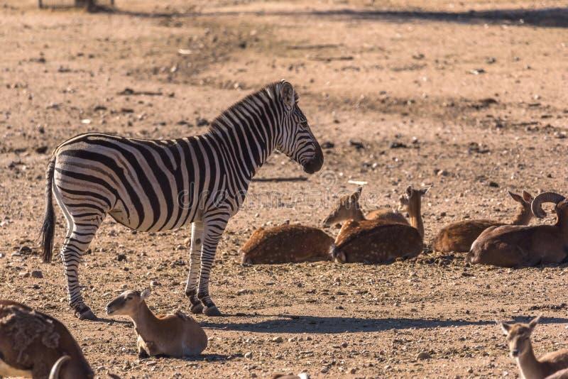 De zebra neemt omringd door groep Afrikaanse antilopen waar royalty-vrije stock foto's