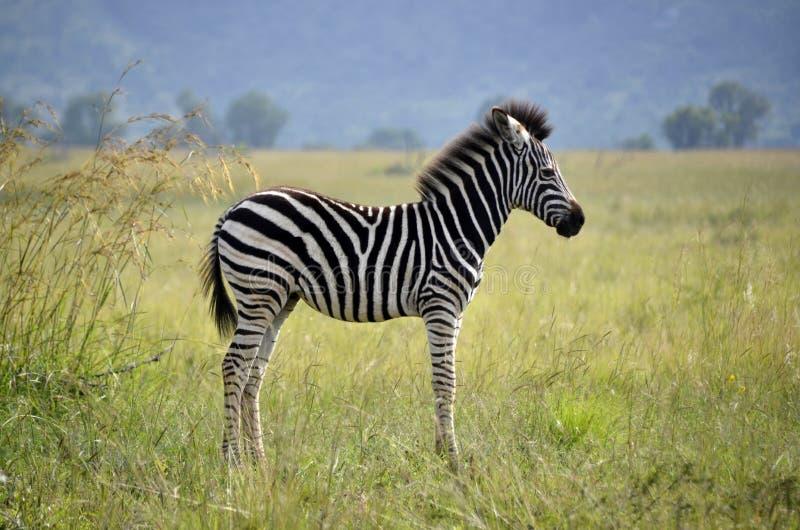 De zebra van de baby stock afbeeldingen