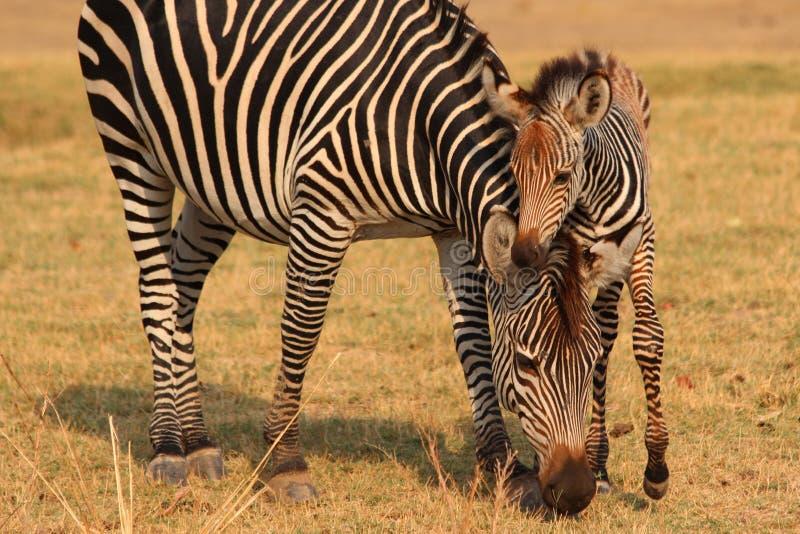 De Zebra van de baby met Moeder royalty-vrije stock foto's