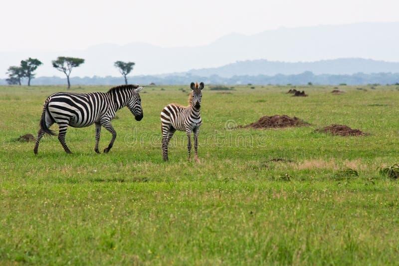 De Zebra van de baby met Moeder stock foto's
