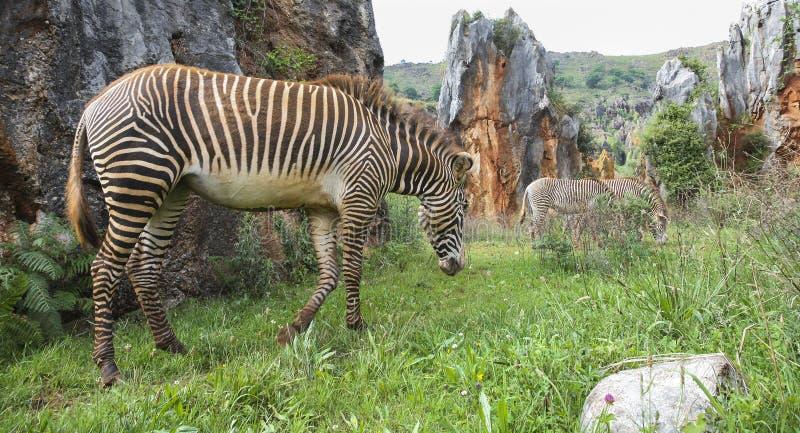 De Zebra van de berg stock fotografie