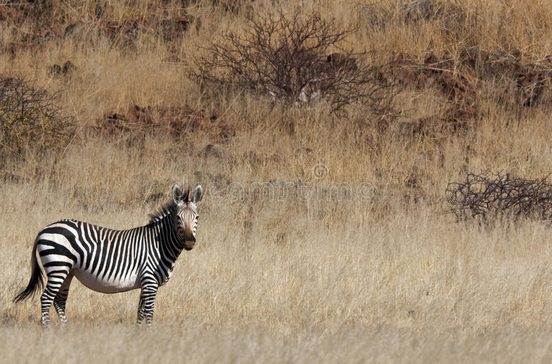 De Zebra van de Berg van Hartmann stock afbeelding