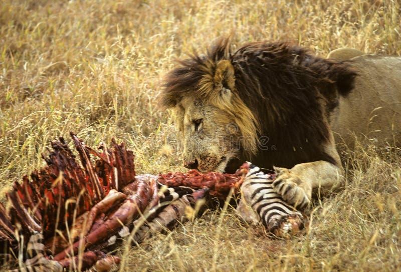 De zebra van de leeuw royalty-vrije stock afbeeldingen