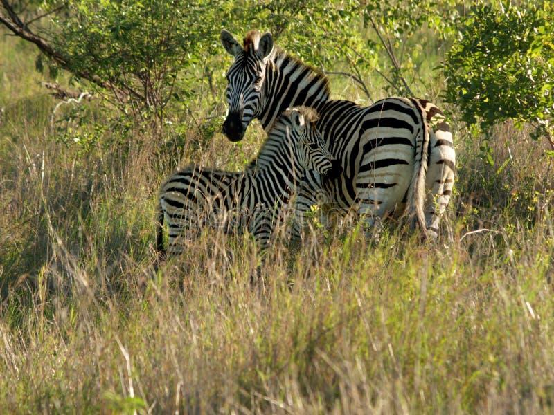 De zebra van de moeder met jongelui stock foto's