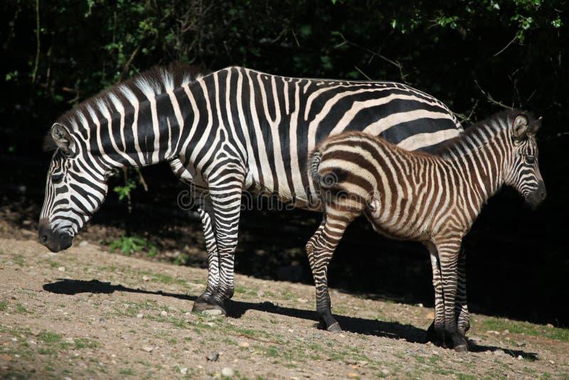 De Zebra van de toelage (Equus quaggaboehmi) stock afbeelding