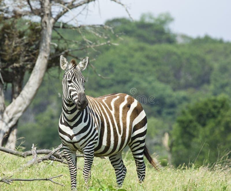De Zebra van Grays stock foto