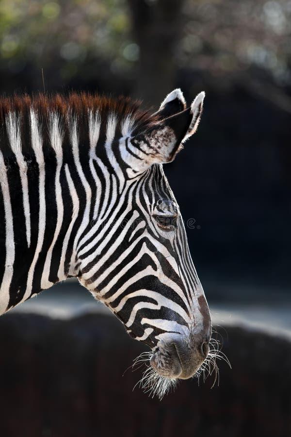 De Zebra van Grevy royalty-vrije stock afbeeldingen
