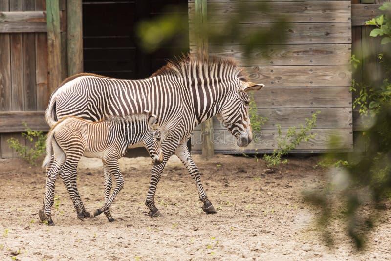 De Zebra van de moeder en van de baby royalty-vrije stock fotografie