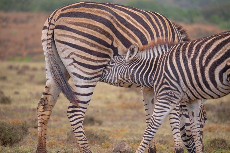 De Zebra van de moeder en van de baby stock foto