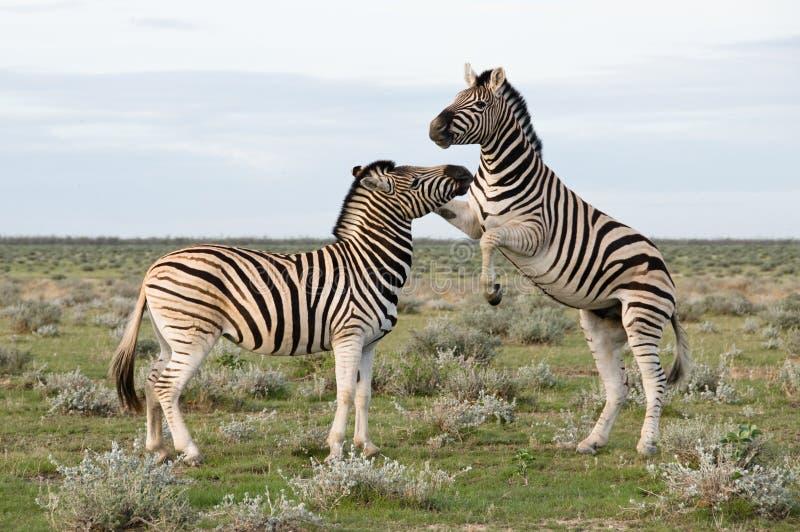 De Zebra van twee Vlaktes, Namibië stock afbeeldingen