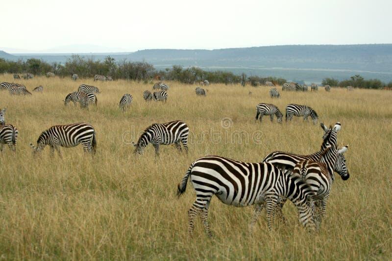 De zebra van vlaktes stock fotografie