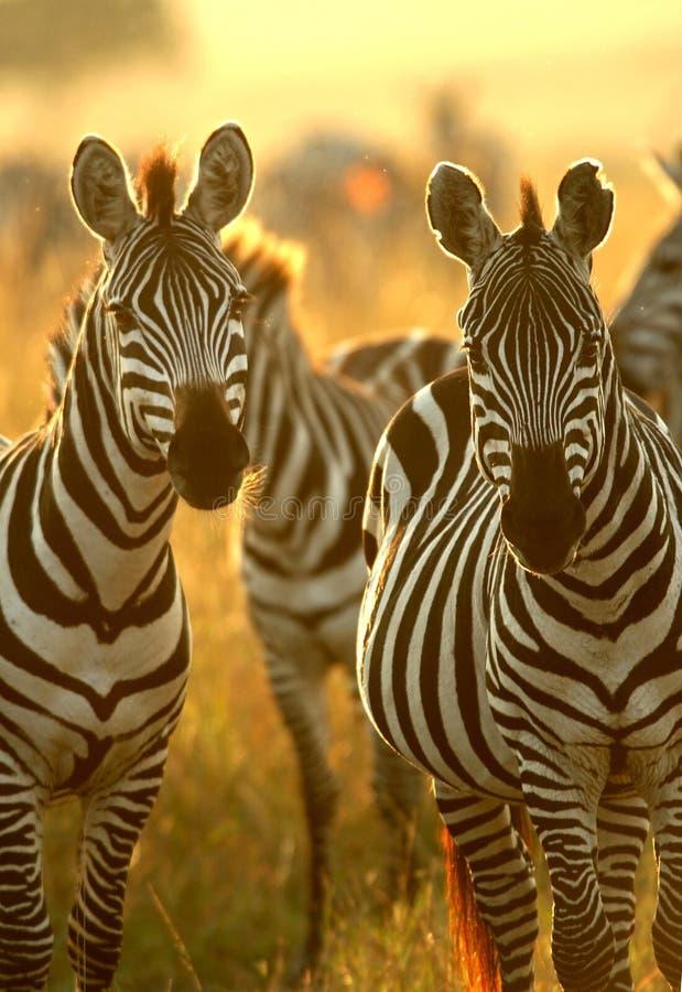 De zebra van vlaktes stock afbeelding