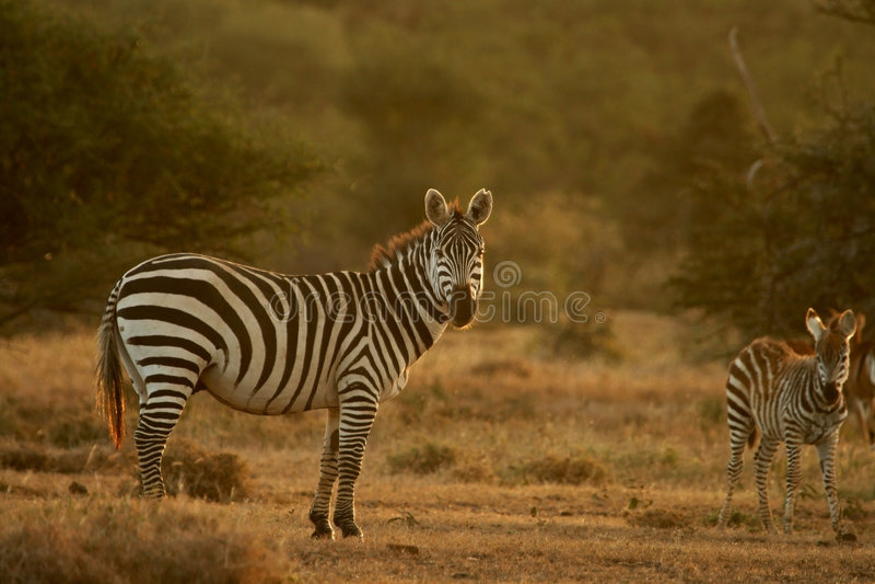 De zebra van vlaktes stock foto