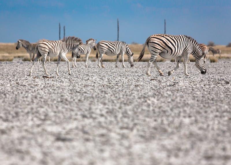 De Zebrasmigratie in Makgadikgadi filtert Nationaal Park - Botswana royalty-vrije stock afbeeldingen