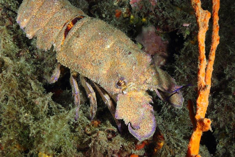 De zeekreeft van de pantoffel stock foto