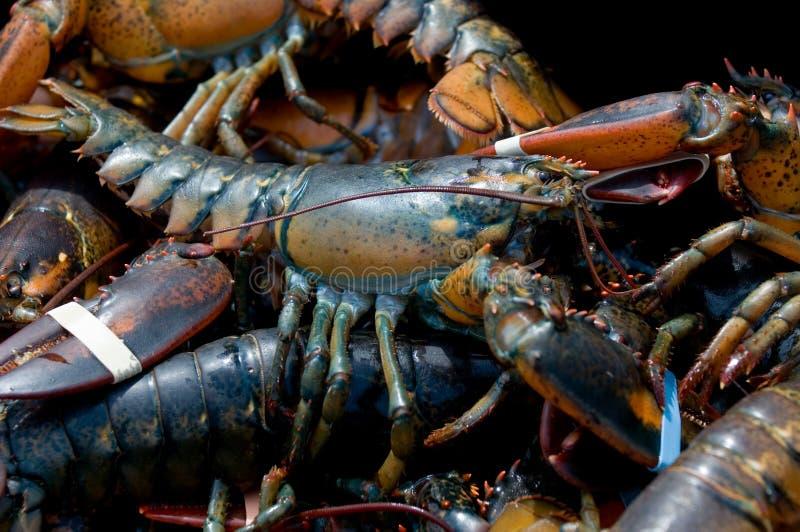 De zeekreeft van Maine stock afbeeldingen