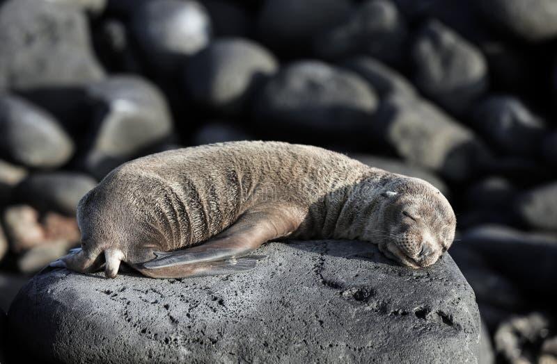 De zeeleeuw die van de babygalapagos op rotsen zonnebaden royalty-vrije stock afbeeldingen