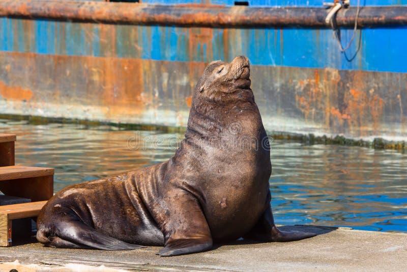 De Zeeleeuw die van Californië op een drijvend dok rusten stock afbeeldingen